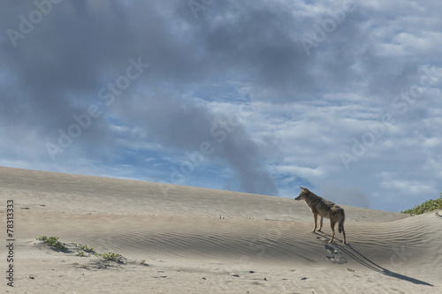 Staande foto Wolf coyote on the sand