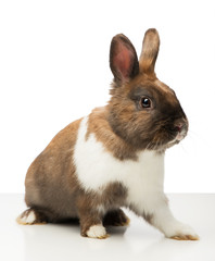 Brown bunny is isolated on white