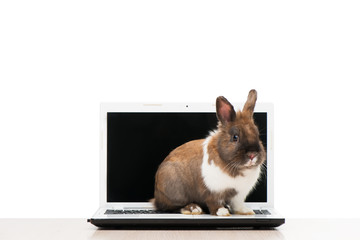 Little bunny sitting on laptop