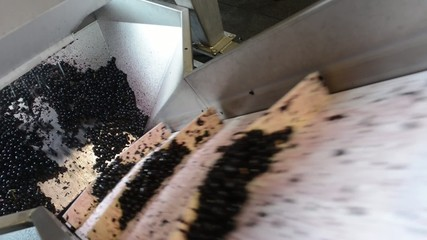 Winemaking-Treading grapes after the harvest