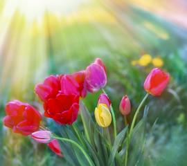 Tulips in flower garden lit by sun rays