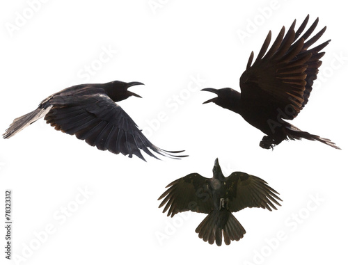 Deurstickers Vogel black birds crow flying mid air show detail in under wing feathe