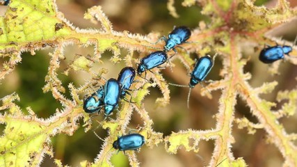 Leaf beetles (Chrysomelidae) defoilating a Gunnera plant