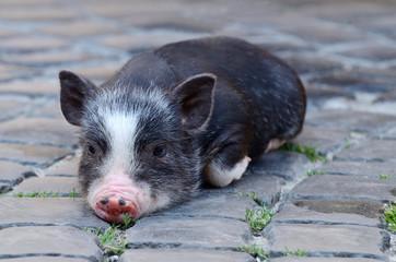 Portrait of little funny black vietnam piglet lying on ground