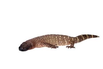 Venomous Beaded lizard isolated on white