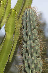 cactus giants