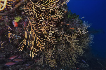 Mediterranean Sea, yellow gorgonians - FILM SCAN