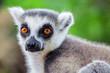 Lemur in nature, portrait