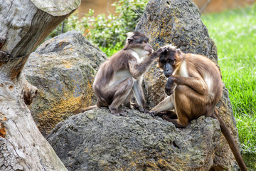 Two monkeys in nature, macaque