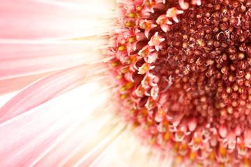 Water drops on gerbera petals, close-up