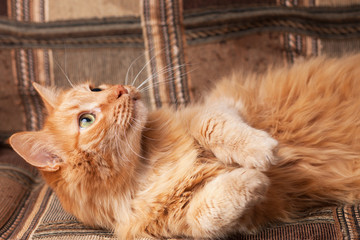 red-haired playful cat lying on the sofa