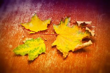 Three dry autumn maple leaf on a orange-purple background