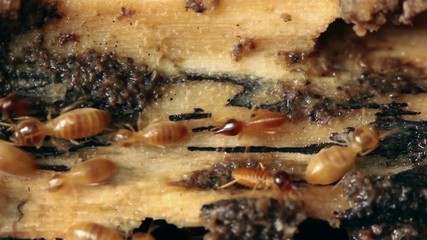 Termites in a rotting log