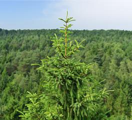Große Tanne im Wald