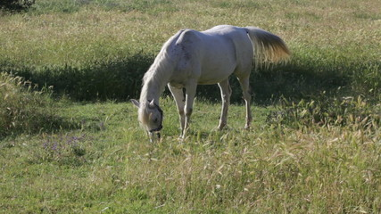 Gray horse is grazed in field with oats early in morning