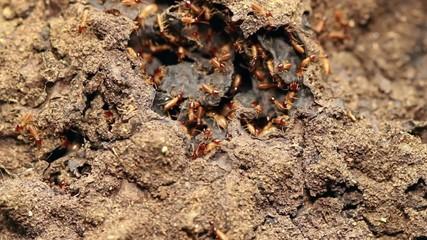 Nasute termites defending a break in their nest