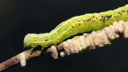 Caterpillar parasitized by an  Ichneumon wasp