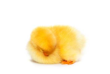 Little cute duckling sleeping