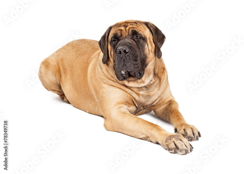 Large Mastiff Dog Laying