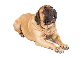 Beautiful Mastiff Dog Laying