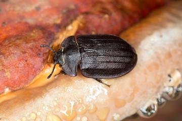 Peltis grossa, Trogossitidae on polypore