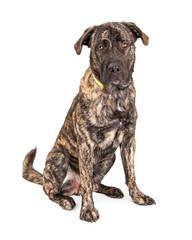 Beautiful Giant Breed Dog Sitting