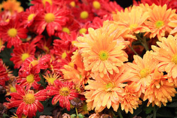 Flower bed of red chrysanthemums flower in garden
