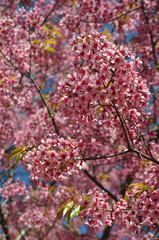 Thai Sakura in Inthanon national park, Chiang Mai, Thailand