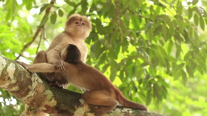 White-fronted Capuchin Monkeys (Cebus albifrons)