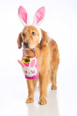 Easter bunny dog with basket and golden egg