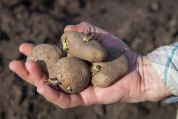 Plants potatoes for new season