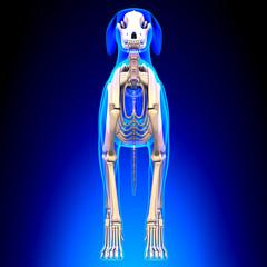 Dog Skeleton - Canis Lupus Familiaris Anatomy - front view