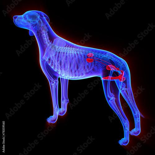 Fototapeta Dog Urogenital System - Canis Lupus Familiaris Anatomy - isolate