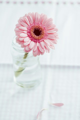 Pink Gerbera Daisy on the table