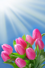 bunch of pink tulips in the corner of blue background