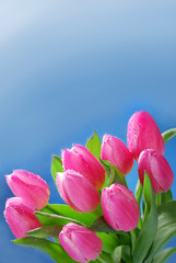 blue background with bunch of pink tulips in the corner