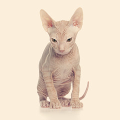 Hairless kitten don sphynx
