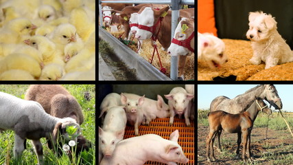 Baby animal collage,puppy,piglet,chick,calf,foal,goat,lamb,foal