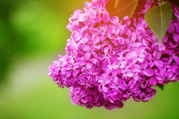 Beautiful spring lilac flowers on the green background, selectiv