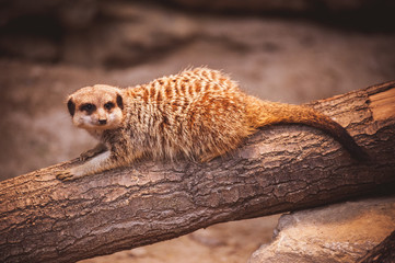 Cute young meerkat in zoo
