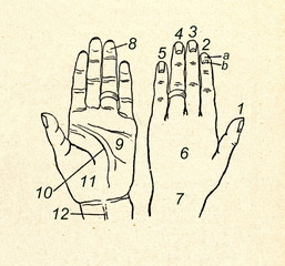 Palmar and dorsal aspects of human left hand