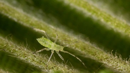 Green aphids on the underside of a leaf