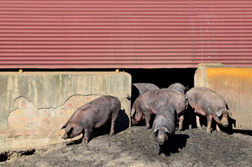 Iberian pigs and pigsty