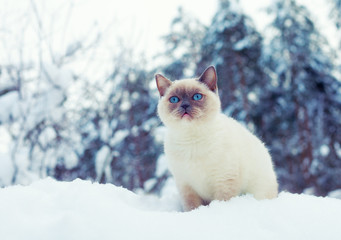 Siamese cat sitting on the snow in the pine forest in winter