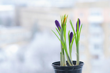 Early spring flowers bloom on the window sill