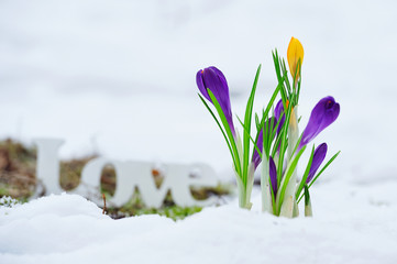 Love letteres ont he snow near blooming crocus flowers
