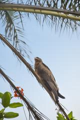 Black kite (Mulvus Migrant) on a palm tree branch, Senegal