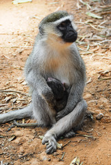 Vervet monkey with a baby, Entebbe Botanical Garden, Uganda