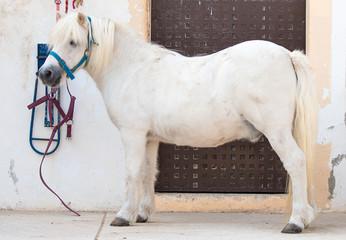 Saddled white pony near the stable.