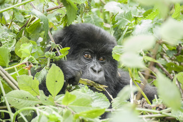 Baby Mountain Gorilla in Volcano National Park (Rwanda)